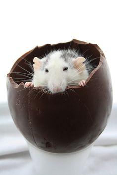 rats <3 chocolate eggs