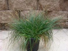 Carex pansa - California Meadow Sedge  Low growing clumping grass native to parts of California. Prefers full sun, likes regular water. Good lawn alternative. Grows 6-8 inches high.  | Evergreen Nursery