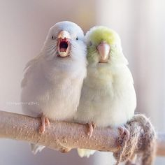 Parrotlets by Freya Ever After