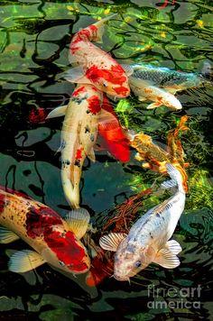 Colorful Koi Fish Drawings | ... Koi Fish Photograph - Colorful Japanese Koi Fish Fine Art Print