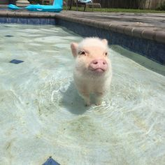 🐷🐽 Cute Baby Pigs, Cute Piglets, Cute Baby Animals, Cute Babies, Tiny Pigs, Small Pigs, Pocket Pig, Pool Days, I Am Awesome