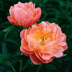 """Pink hawaiian coral peony. Early Midseason Hybrid, semi-double, light salmon-toned pink, fast grower, many thick strong stems, it belongs on the """"exclusive"""" list of well paid cut flowers, American Peony Society Gold, 100 cm"""