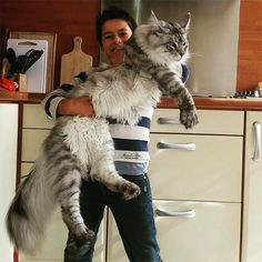 "21 Huge Maine Coon #Cats That Will Make Your #Kitty Look Tiny.The Maine Coon cat is among the biggest domestic breeds of cats. Actually, the record for the ""longest cat"" in the 2010 Guinness World Records was achieved by Stewie, with 48.5 in."