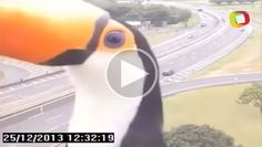 A curious toucan was recently caught photobombing a traffic camera in São Paulo, Brazil. The inquisitive bird seemed perplexed by the camera, perhaps mistaking it for food.