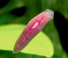 Phylum Platyhelminthes : General Characters and more