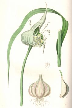 Garlic botanical dra