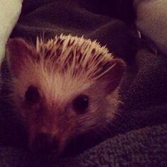 Hedgehog Quilson