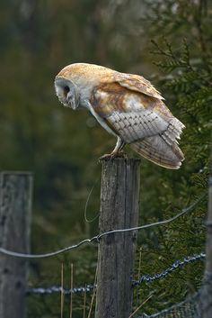 Barn Owl on post by nigel pye of Prey Owl Photos, Owl Pictures, Exotic Birds, Colorful Birds, Nocturne, Owl Bird, Pet Birds, Owl Doorstop, Tyto Alba