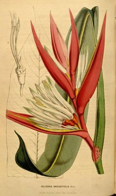 ilustracao heliconia angusta 2                                                                                                                                                                                 Mais