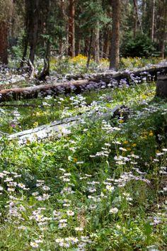 Wildflowers in Creede, Colorado