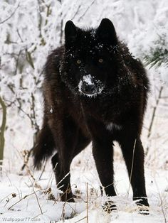 Black Tamaskan.....Husky, German Shepherd, Alaskan Malamute mix. It looks just like a wolf! I want!!!! <3