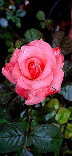 Rose, Plants, Flower, Pink, Roses, Flora, Plant
