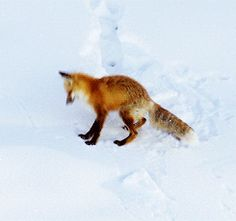 Fox Pouncing in Snow | animals snow fox pounce leap north america arctic animated GIF