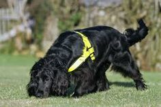 Molly The Uk's only cat detection dog photogrpahed during s search for a injured cat