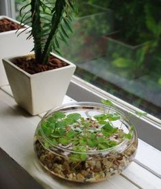 Low-bowl windowsill water garden or tabletop water garden. See more great D.I.Y. ideas in garden/landscape @ www.ContainerWaterGardens.net