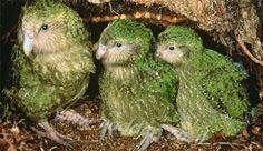 El Kakapo: un loro casi extinguido, que huele a flores, organiza torneos y no sabe volar Actualmente quedan 131 ejemplares en todo el mundo de este extraño loro endémico de Nueva Zelanda, el kakapo (Strigops habroptilus). Kakapo significa loro nocturno en maorí.  La colonización polinesia y europea mermó sus poblaciones por la introducción de depredadores foráneos como gatos y ratas.