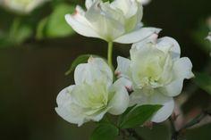 Springtime Double Flowering Dogwood