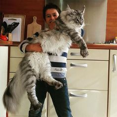 People holding their Mega Maine coons. In between 22-30 pound cats