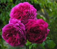 Young Lycidas. David Austin rose with award winning scent.
