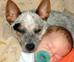 Australian Cattle Dog/Blue & Red Heelers. Awww protecting the baby. This will be my babies.