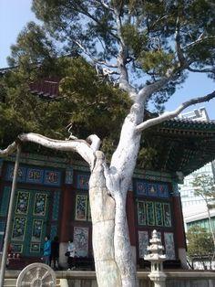 서울 종로 조계사에 있는오백년된 백송.
