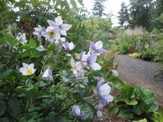 Anemone 'Wild Swan' blooms May-Nov with lilac reverse. Marketed by Monrovia