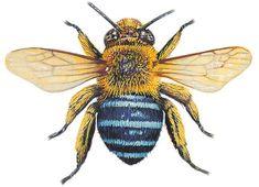 Blue-banded bee, Australia