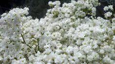 Flowers, baby's breath, Craig Watanabe, Sandy Watanabe Babys Breath Flowers, Baby's Breath, Perennials, Breathe, Pure Products, Garden, Garten, Lawn And Garden, Gardens