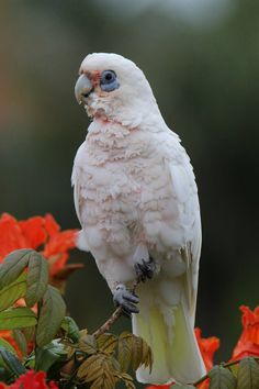 Australian Little Corella