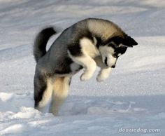 Love siberian huskies!