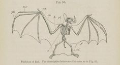 Fig. 96. Skeleton of a bat. Elementary anatomy and physiology. 1861.