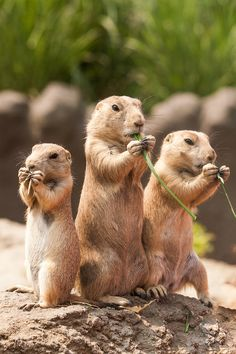 Prairie dogs.  So cute, they use to have an exhibit for the prairie dogs at the Baltimore Zoo, unfortunately it was done away with it, don't know why though, still enjoyed going to the zoo.