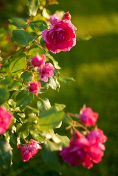 French roses by RainAtDawn, via Flickr