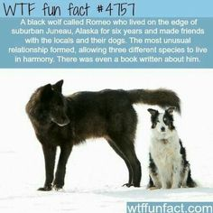 A Wolf Capled Romeo by Nick Jans - WTF Facts : funny, interesting & weird facts Wtf Fun Facts, Funny Facts, True Facts, Random Facts, Random Stuff, Epic Facts, Random Things, Funny Memes, Funny Animals