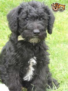 **Stunning Schnoodle Puppy **