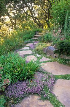 Creeping Thyme (thymus) in pathway stone pavers in drought tolerant California xeriscape garden with oak trees