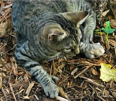 One of the famous Hemingway cats, Key West, Florida by © edgerandron, via Flickr.com