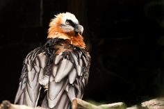 Bearded vulture.  Stunning!