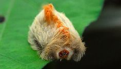 Chenille Megalopyge Opercularis : elle paraît toute douce, mais c'est la plus toxique des Etats-Unis...