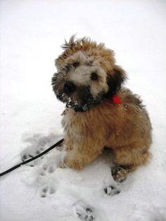 1st snow - wheaten pup