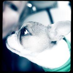 Frenchie Loui alias Escobar from Vanilla Sky Bulldogs