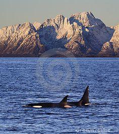 Wild orcas or killer whales, Vestfjord, Lofoten, Norway Norway Travel Guide, Tromso, Trondheim, Copenhagen Denmark, Lofoten, Killer Whales, Dream Vacations, Finland, Tourism