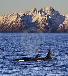Wild orcas or killer whales, male, female and young, Vestfjord, Lofoten, Norway