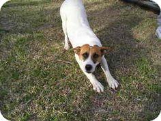 Quinlan, TX - Boxer/Spaniel (Unknown Type) Mix. Meet Susie a Dog for Adoption.