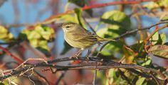 Palm Warbler in Shrubland