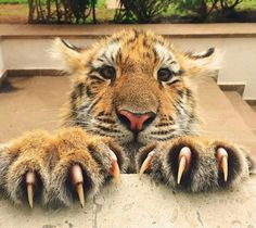 #baby #tiger #paw