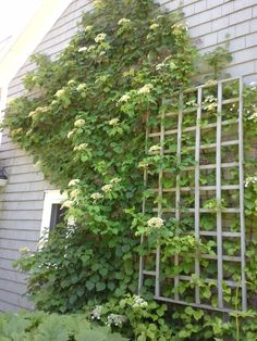 Learn how to grow climbing hydrangea in the garden in this article. Includes information on planting, trellising, growing and varieties of hydrangea Climbing Hydrangea, Climbing Flowers, Hydrangea Care, Climbing Vines, Hydrangeas, Growing Hydrangea, Hydrangea Petiolaris, Large Flowers, White Flowers
