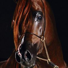 Red Chestnut Arabian ~ Such a lovely head
