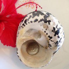 Black Pica Magpie Shell Large Sea Shell Sea Shells Shell