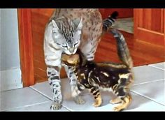 Watch Little Sonic The Bengal Kitten As He Meets His Big Brother Mithril; Both Such Beautiful Cats